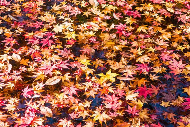嵐山・常寂光寺の紅葉 池に浮かんだ紅葉の葉