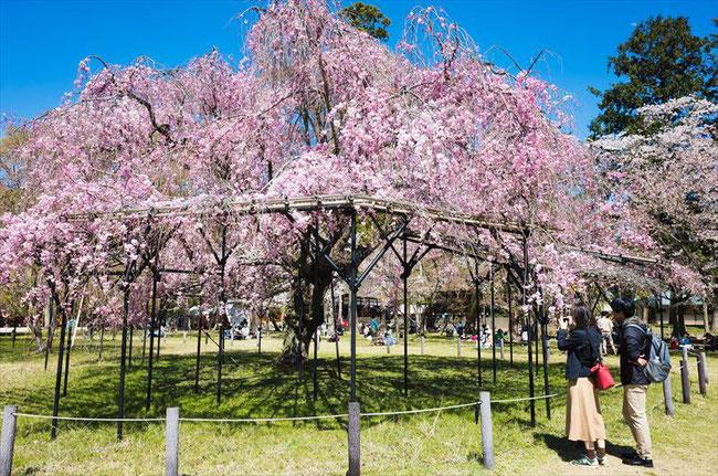(京都桜の穴場)上賀茂神社の桜
