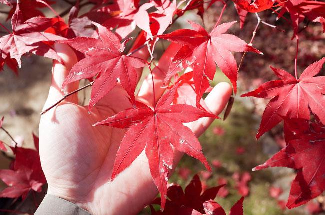 2018年嵐山 紅葉の葉の色 塩害??