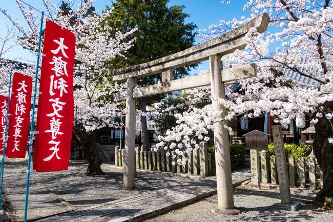 京都・本法寺の桜