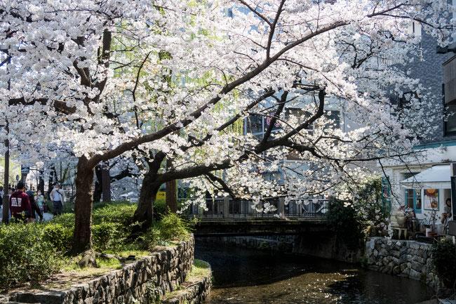 京都高瀬川の桜(ソメイヨシノ)