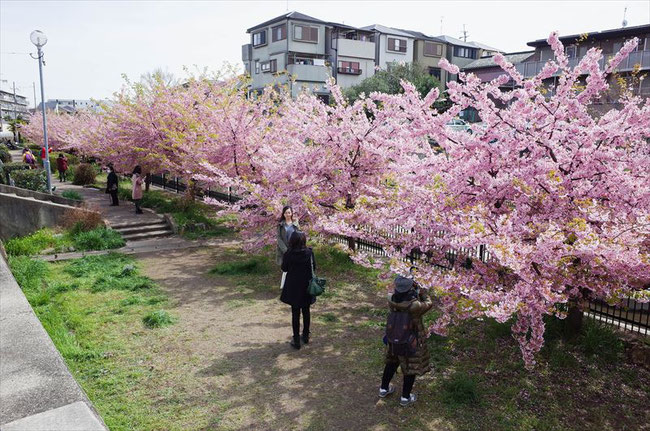 (京都桜の穴場)淀水路の河津桜