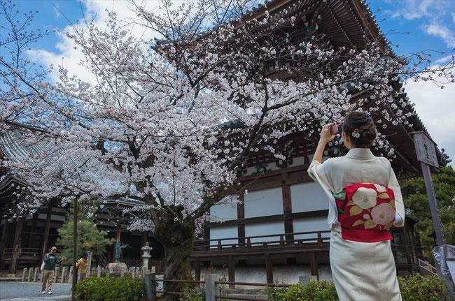 (京都桜の穴場)本法寺の桜