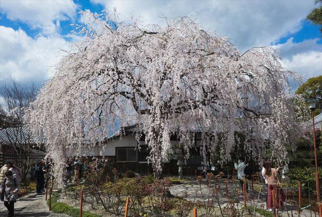 (京都桜の穴場)本満寺の枝垂れ桜