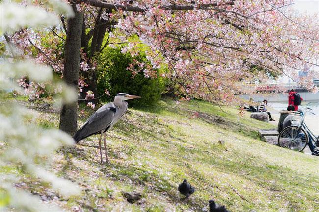 (京都桜の穴場)鴨川の桜と鷺