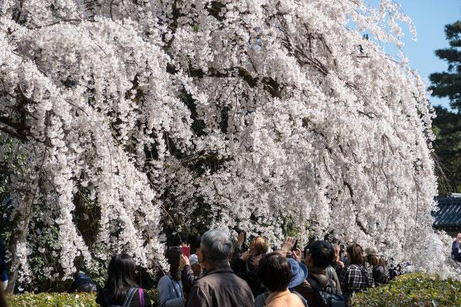 京都御苑(近衛邸跡)の枝垂桜(糸桜)
