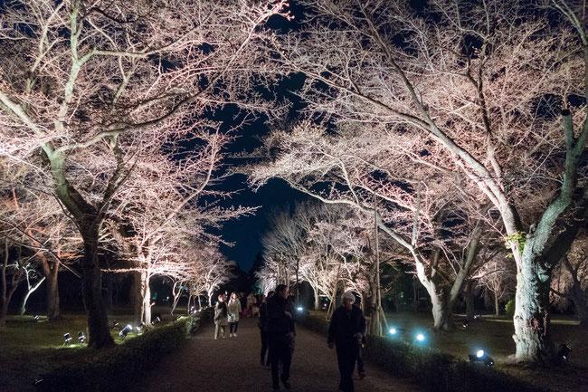 京都二条城桜祭り ソメイヨシノ