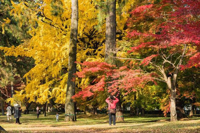 京都御苑のイチョウと紅葉