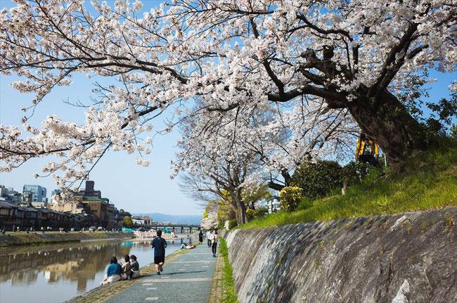 (京都桜の名所)鴨川のソメイヨシノ