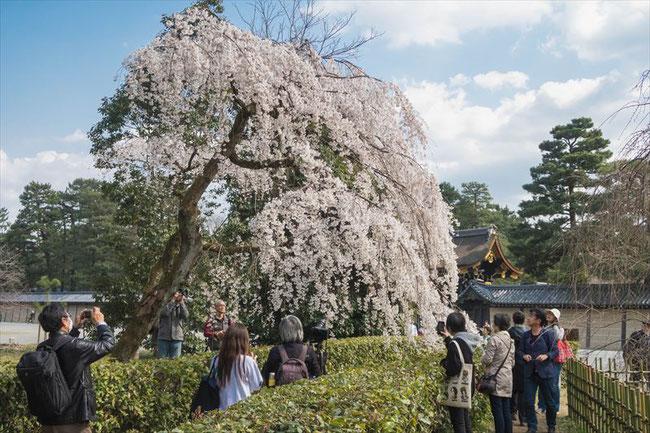 (京都桜の名所)京都御苑近衛邸の枝垂れ桜