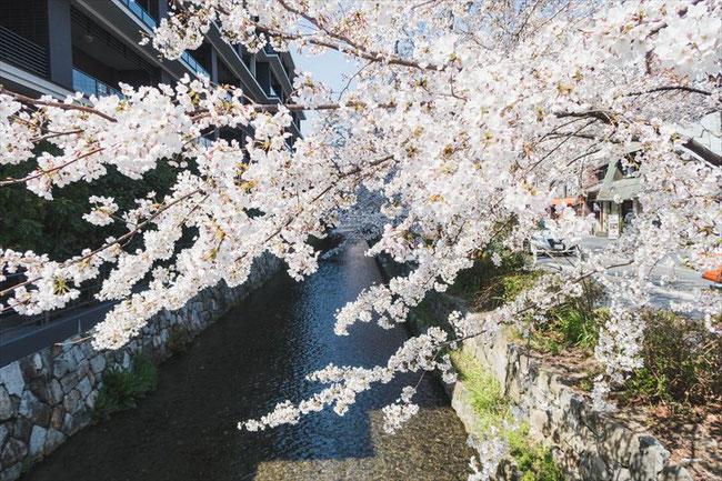 (京都桜の名所)木屋町高瀬川の桜