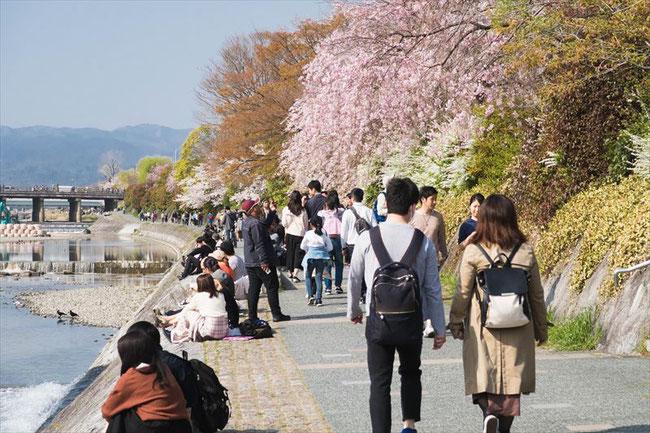 (京都桜の名所)鴨川の桜