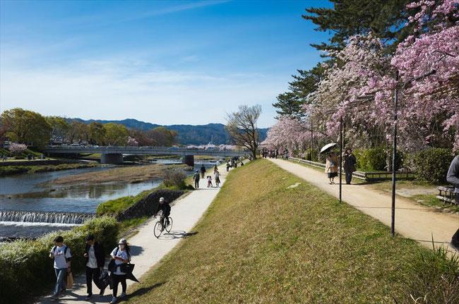 (京都桜の穴場)半木の道の桜