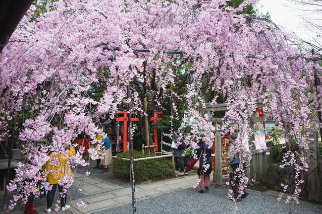 (京都桜の穴場)水火天満宮の桜