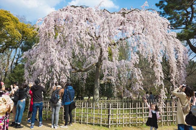 (京都桜の名所)京都御苑出水の桜