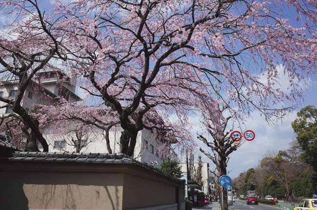 (京都桜の名所)京都御苑西側の桜
