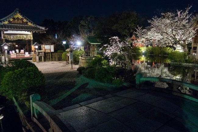 京都・神泉苑ライトアップの桜