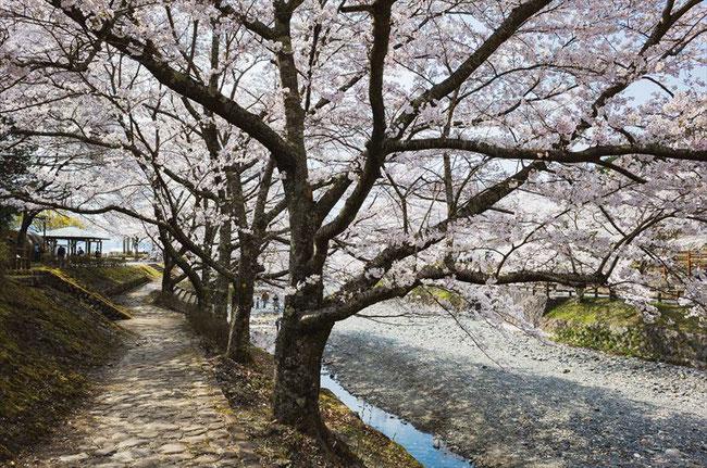 (京都桜の名所)亀岡市七谷川「和らぎの道」の桜