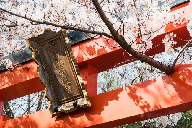 (京都桜の穴場)竹中稲荷神社の鳥居と桜