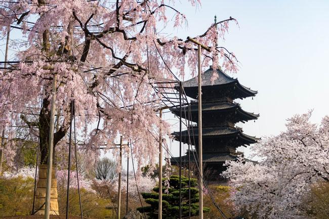 京都・東寺の不二桜