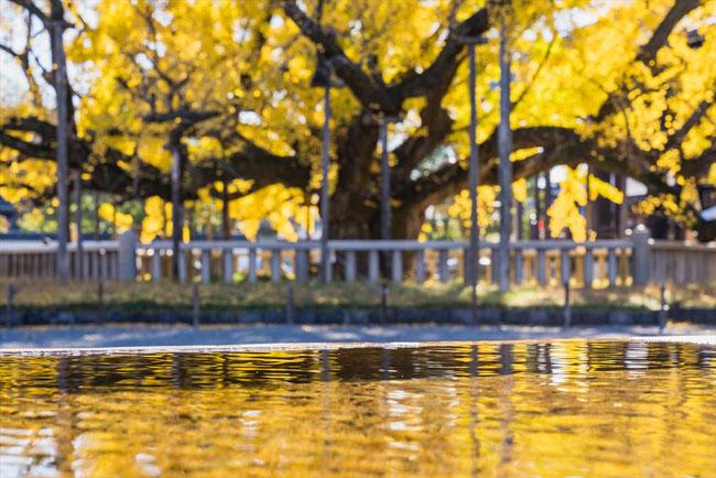 西本願寺のイチョウと水面