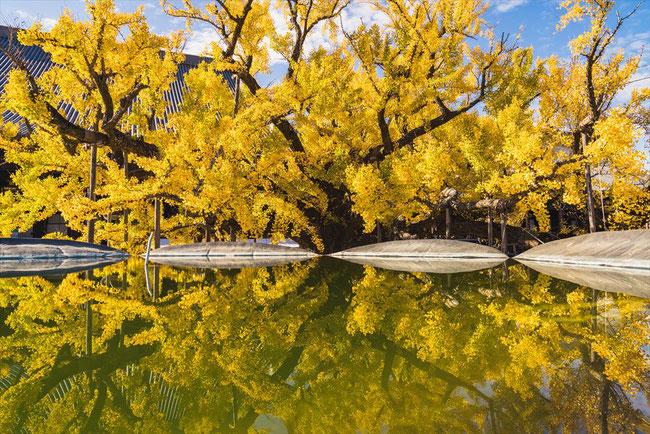 西本願寺のイチョウの鏡面写真