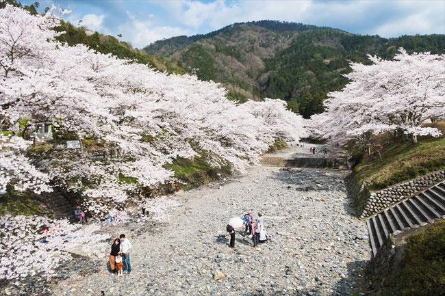 (京都桜の穴場)亀岡市七谷川「和らぎの道」の桜