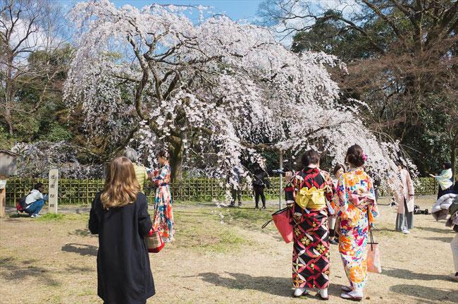 (京都桜の名所)京都御苑近衛邸の糸桜