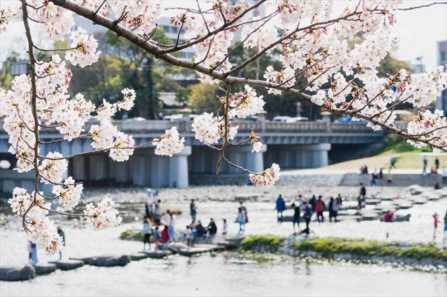 (京都桜の穴場)鴨川デルタ(出町柳)の桜