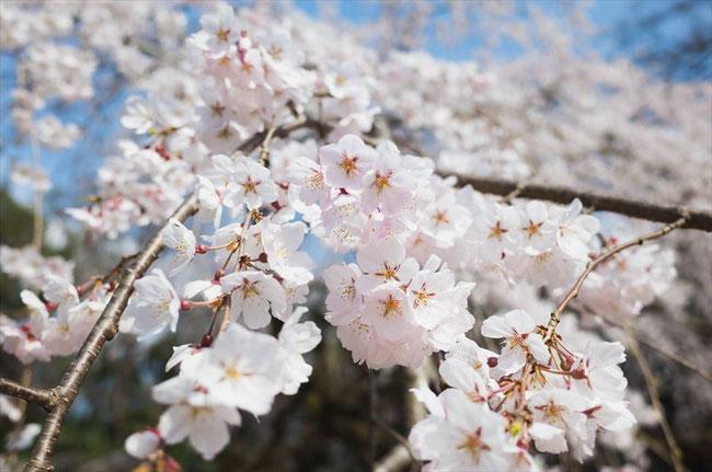 2019京都の桜の名所ソメイヨシノ