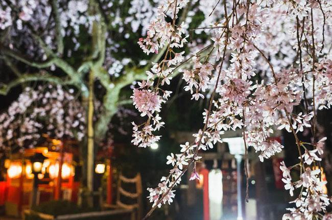 (京都桜の穴場)水火天満宮の桜ライトアップ