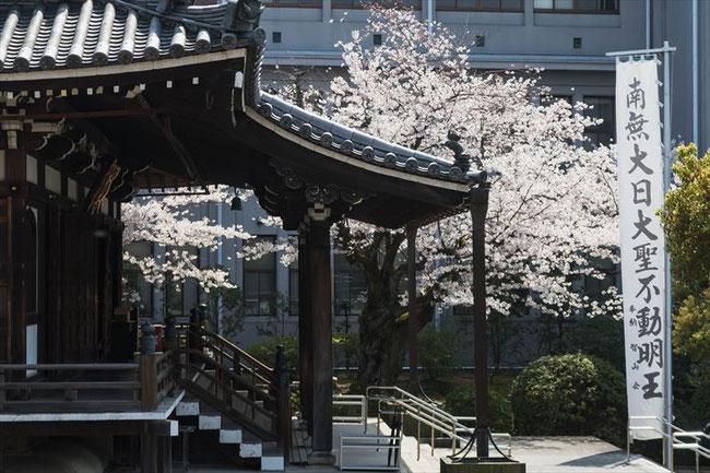 (京都桜の穴場)智積院の桜