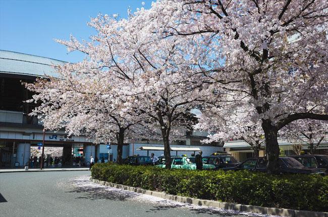 (京都桜の穴場)JR二条駅の桜