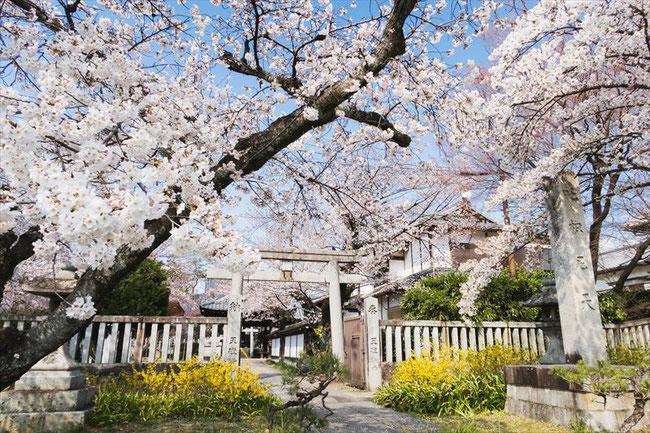 (京都桜の穴場)真如堂の桜