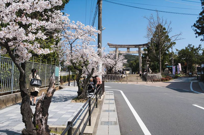 (京都桜の穴場)京都女子大の桜
