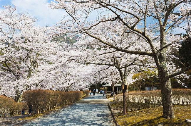 (京都桜の名所)亀岡市七谷川「和らぎの道」の桜並木