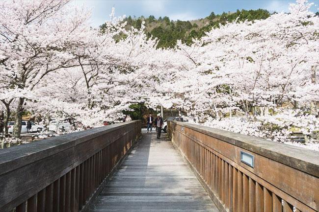 (京都桜の名所)亀岡市七谷川の橋