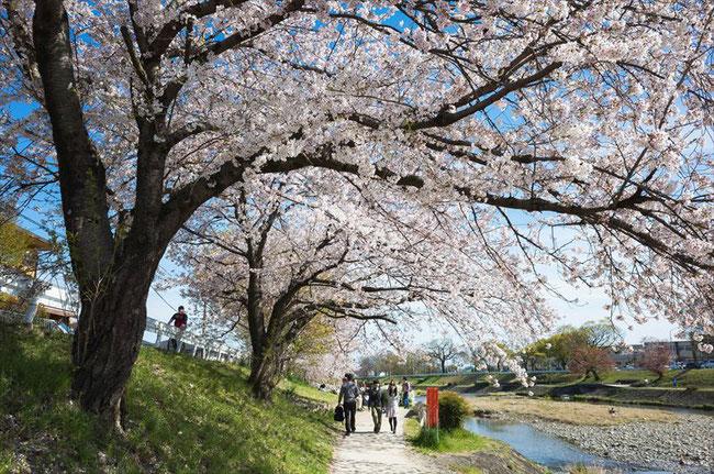 (京都桜の穴場)賀茂川の桜