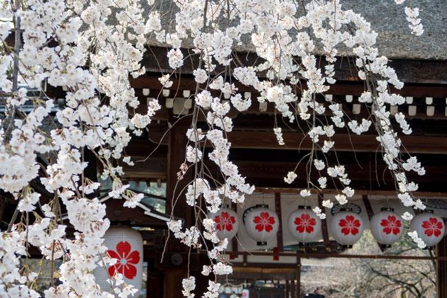 京都平野神社 魁桜