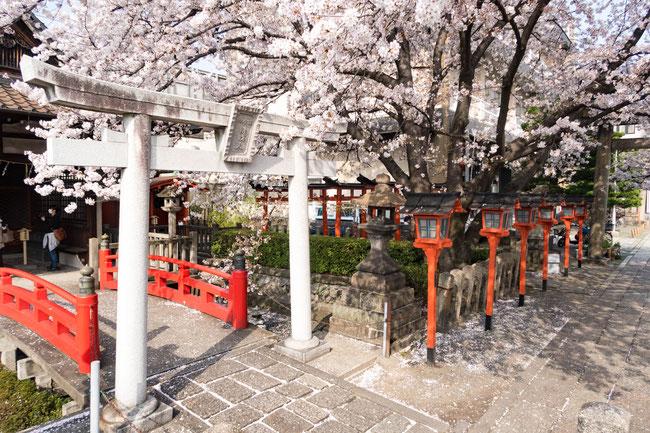 京都・六孫王神社の桜