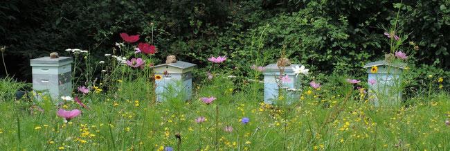 Ruches dans une jachère fleurie par Miel et Gouter d'Antan apiculteur dans les Deux Sèvres