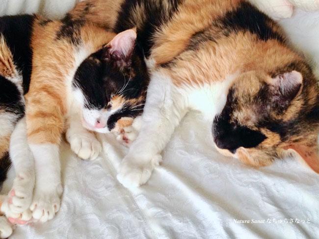 猫の自然食で育った猫の写真・画像、三毛猫、自然食育ち