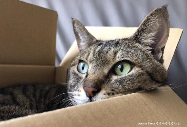 自然食育ちの猫の画像、なちゅらさなっとの猫の画像、健康な猫の画像、箱入り猫の画像