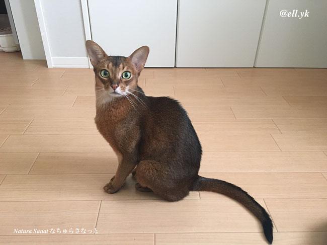 猫の自然食で育った猫の画像、アビシニアン、エル