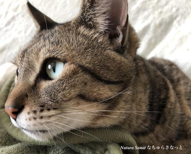 猫の自然食で育った猫の画像・写真、サバトラ猫、自然食育ち
