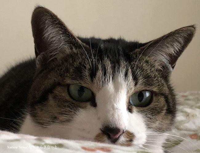 自然食育ちの猫、シロキジ、猫の画像