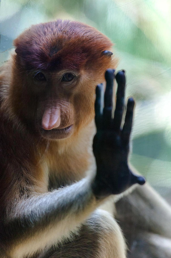 Long Nosed Monkey looking with hand at the window, Zoo in Singapore, 1206x1820px