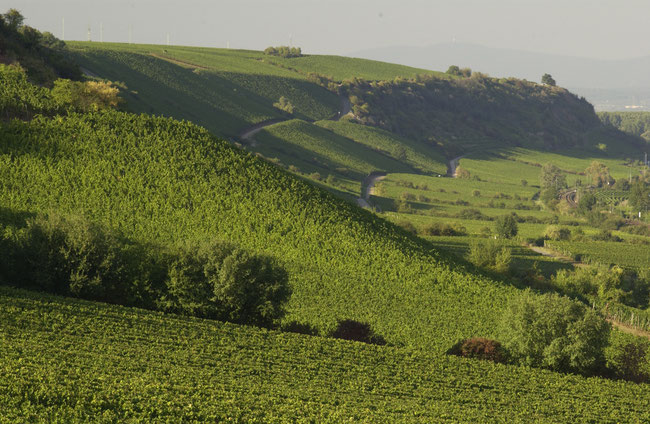 "The famous ""Roter Hang"" - some of Rheinhessens most prestigious vineyards on the banks of The Rhine (photo: Deutsches Weininstitut)"
