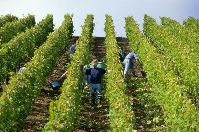 Manual wine harvest in Germany (picture (c) deutsche weine)