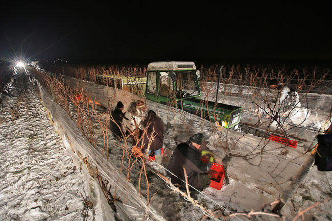 icewine harvest  (picture (c) deutsches weininstitut)
